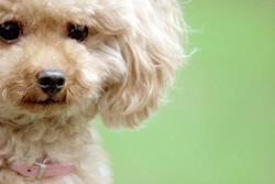健気なトイプードルの子犬