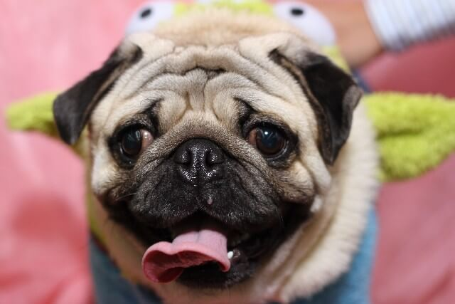 Image result for Pug 犬 美しい